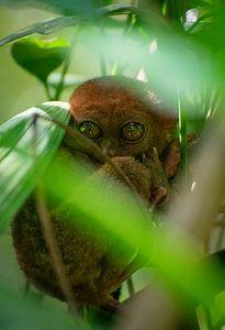 Filipijns spookdiertje (Carlito syrichta) van Anneloes vd Werff