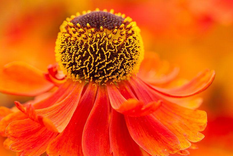 Close up van rode bloem  van Caroline Piek