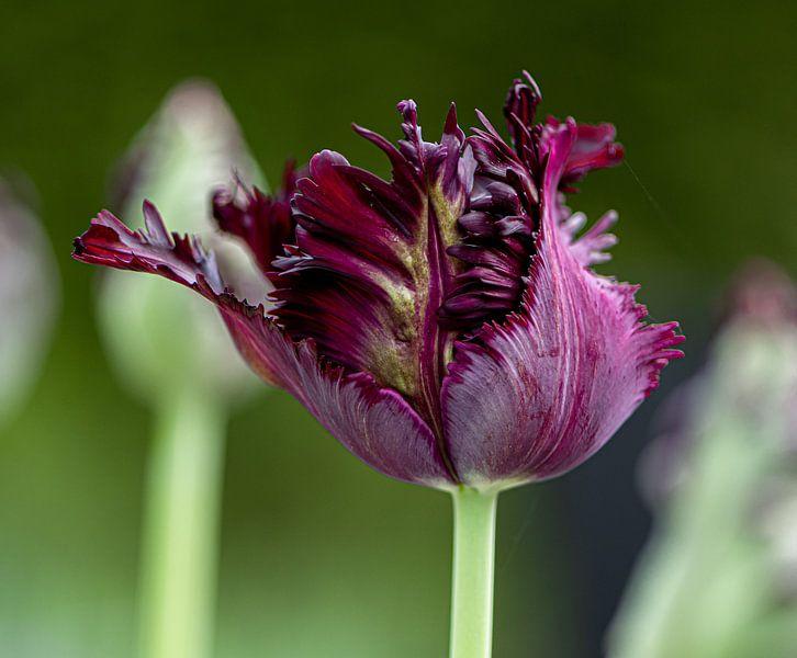 Dunkle Tulpe von Ingrid Aanen