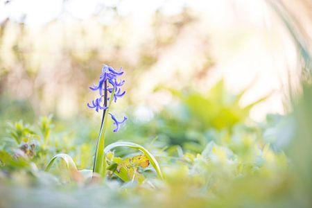 Hyacint von Leora Kalisvaart