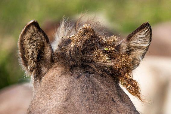 Konikpaard kuif