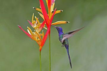 Beija-flor-tesoura van Birdy Flying