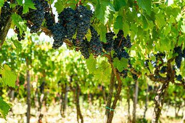 Druivenranken uit Toscane van Leo Schindzielorz