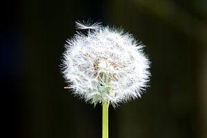 Paardenbloem / Flower