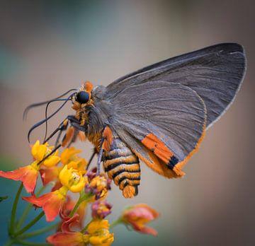 Vlinder van Ingrid Ronde