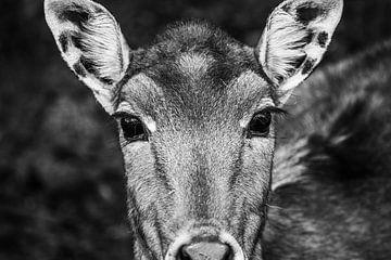 Aufdringlich aussehender Hirsch, auch Nijlgau genannt von Natasja Bittner