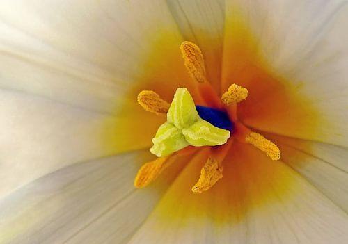 Schoonheid van een tulp