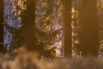 Ontwaken in de Zweedse bossen tijdens het gouden uurtje van Mindy Molein