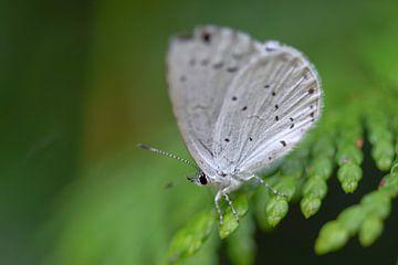 Boomblauwtje (vlinder) van Kim de Been