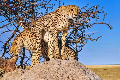 Geparden-Brüder, Namibia wildlife