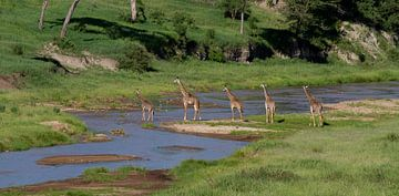Een groep giraffen steekt een rivier over van Peter van Dam