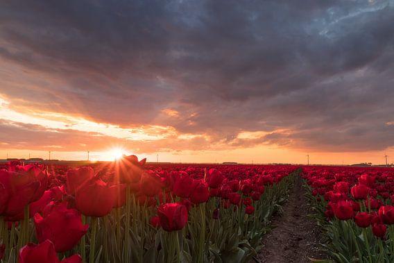 Rode tulpen in de zon - Zeewolde, Nederland van Thijs van den Broek