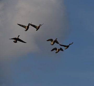 Fliegende und tretende Enten von Naomi Visser