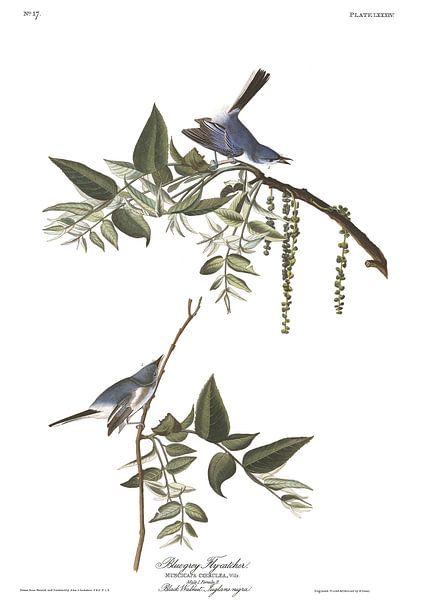 Blauwgrijze Muggenvanger van Birds of America