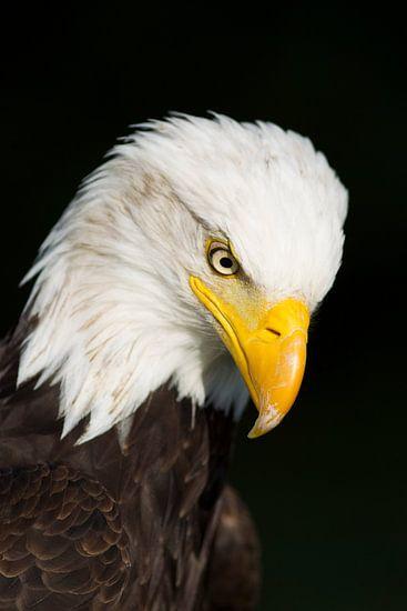 American Eagle van Thijs Schouten