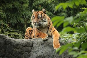 Mächtiger Tiger von Maarten de Jong