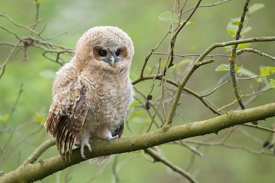 Tawny Owl ( Strix aluco ), baby owl, owlet, young chick, perched on a branch