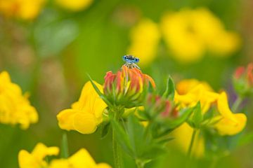 Blauwe libelle van Barbara Brolsma