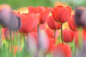Tulpen sur Hein de Vries