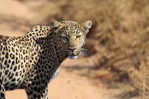 Luipaard Pilanesberg NP Zuid Afrika van Ralph van Leuveren