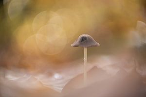 Dromerige paddenstoel van