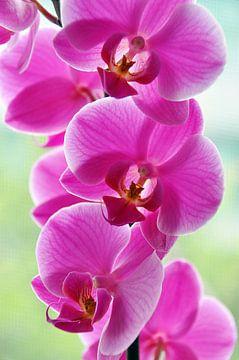 Rosa Orchideen von Ioana Hraball