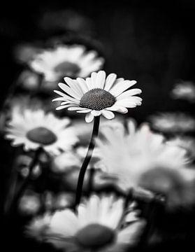 Zwart wit foto van een madelief von Arnold Loorbach Photography