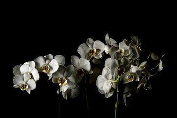Witte orchideeën van Yannick Roodheuvel