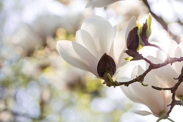 Witte magnolia van Martina Weidner