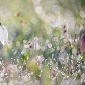 Wilde witte kievitsbloem met dauw van Gonnie van de Schans