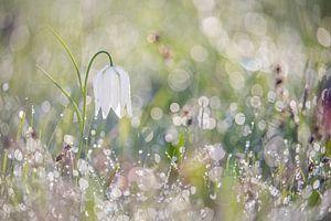 Wilde witte kievitsbloem met dauw van