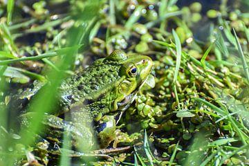 Frosch im Frühling / Frosch im Frühling von Henk de Boer