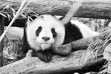 Panda von Truckpowerr