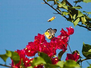 twee vlinders fladderen boven een bloem van kees luiten