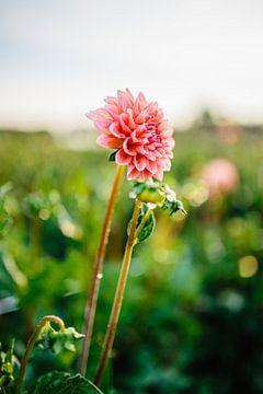 Roze Dahlia met waterdruppels van Wilko Visscher