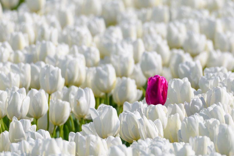 Een gekleurde tulp in een veld van witte tulpen in bloei van Sjoerd van der Wal
