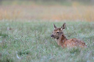 Fawn of Red Deer (Cervus elaphus) in autumn, lying, resting in dew wet grass. van wunderbare Erde