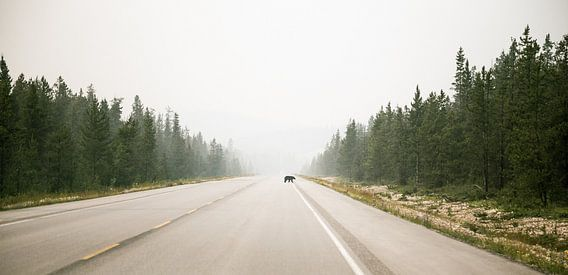 Overstekende  beer in Banff Nationaal Park van Emile Kaihatu