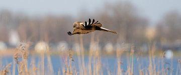 Ein Panorama des Turmfalken. Der Vogel fliegt mit gespreizten Flügeln über einen Schilfgürtel am Ran von Gea Veenstra