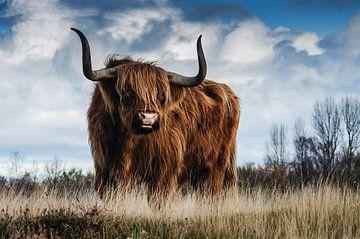 Schotse hooglander - Stier - Bull - Hoorns - Vacht - Koe - Drenthe - Friesland - Schotland - Heide van Hendrik Jonkman