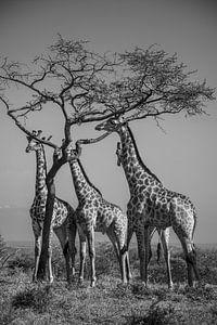 Groepje giraffen eten van acacia boom van Romy Oomen