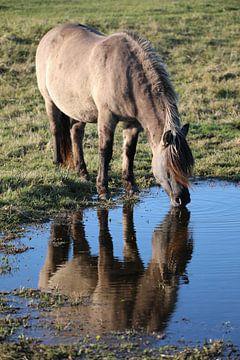 Drinkend Konik paard van Joost Ligthart