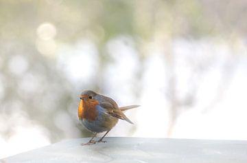 Nieuwsgierig roodborstje in de winter van Rietje Bulthuis