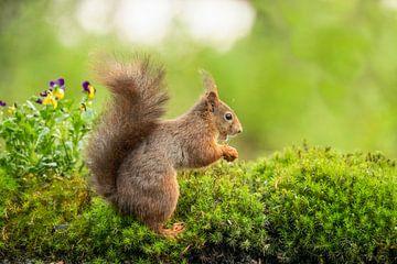 Eekhoorn, Rode Eekhoorn. Sciurus vulgaris van Gert Hilbink