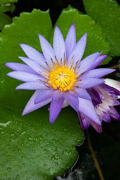 Lotusbloem in Thailand