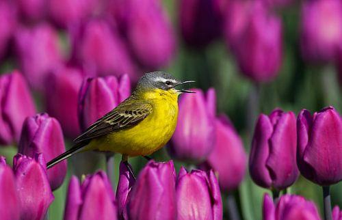 Gele Kwikstaart zingend op een tulp van