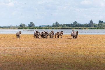 Herde von Konik-Pferden von Patrick Verheij