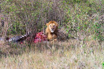 Gehavende leeuw verorbert zijn prooi. van Monique van Helden