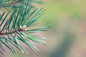 Macro foto van een denneboom.  van Robert Wiggers