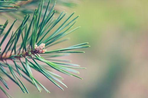 Macro foto van een denneboom.